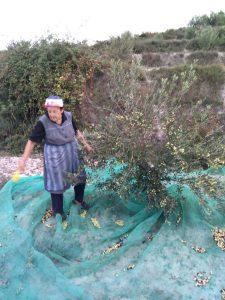 Mari Gloria La Alqueria cogiendo aceitunas
